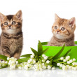 Kittens in green gift box isolated on white. — Photo