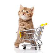 British cat with shopping cart isolated on white. kitten osolate — Zdjęcie stockowe