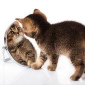 Gattino con specchio su sfondo bianco. gattino guarda in uno specchio — Foto Stock