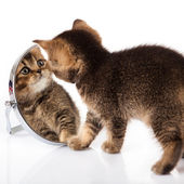 Gatito con espejo sobre fondo blanco. gatito se mira en un espejo — Foto de Stock