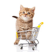 British cat with shopping cart isolated on white. kitten osolate — Stock Photo