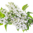 Isolated white lilac branches — Stock Photo