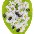 Bugs and daisies — Stock Photo