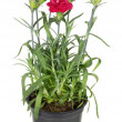 Red terry carnation in soil pot — Stock Photo