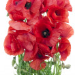 Wild field poppies bouquet — Stock Photo #11589415