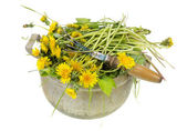 Garden weeds are dandelions — Stock Photo