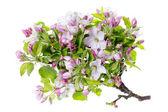 Apple tree flowers isolated — Stock Photo