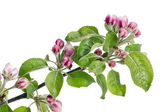 Apple flowers pink buds — Stock Photo