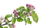 Boccioli di fiori rosa mela — Foto Stock