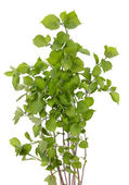 Garden hydrangea isolated — Stock Photo