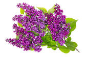 Purple lilac isolated branches — Stock Photo