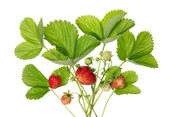 Bush of garden strawberries — Стоковое фото