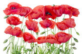 Red poppies border — Stock Photo