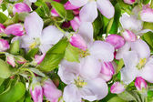 Pink apple flowers background — Stock Photo
