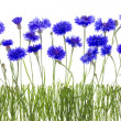 Постер, плакат: Cornflowers meadow