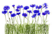 Cornflowers meadow — Stock Photo
