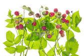 Concepto de bush frambuesa — Foto de Stock