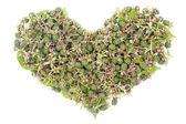 Green unripe blackberries heart concept — Stock Photo