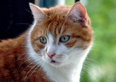 Portrait of ginger European cat — 图库照片