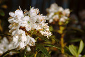 White rhododendron flowers with water drops — Foto Stock