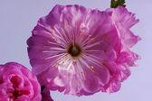 Małe i różowy kwiat migdałów — Zdjęcie stockowe