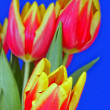 Red and yellow tulip flowers  on blue background — Stock Photo