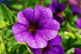 Calibrachoa carnaval, petunia-bloem — Stockfoto