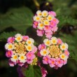 Flower Lantana camara or Spanish Flag — Stock Photo