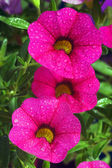 Calibrachoa carnaval, Petunia flower with water drops — Stock Photo