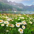 图库照片: Daisy flowers near the Alpine lake