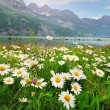 Daisy flowers near the Alpine lake - Stock Photo