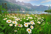 Margarida flores perto do lago alpino — Foto Stock