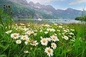 Daisy flowers near the Alpine lake — Fotografia Stock