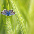 Butterfly in the wheat — Stock Photo
