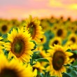 Sunflowers field at sunset — Stock Photo
