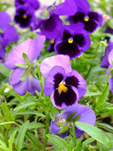 Violets in the garden — Stock Photo