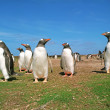 Colony penguins — Stock Photo