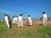 Colony penguins — Stockfoto