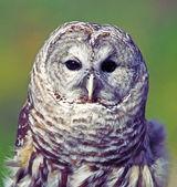 Grey Owl — Stock Photo