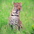 Leopard in the grass — Stock Photo