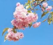 Sakura — Stock Photo