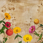 Flowers Zinnia and root of a poplar — Stock Photo