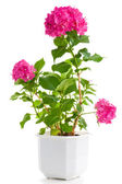 Hydrangea in flowerpot — Stock Photo