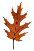 Leaf of oak — Stock Photo