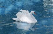 White swan — Stock Photo