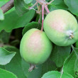 Unripe apples — Stock Photo #11589797