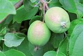 Unripe apples — Stock Photo