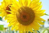 Solrosor på fältet — Stockfoto