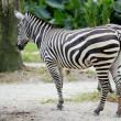 Zebra — Stock Photo #11838426
