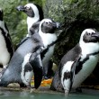 Foto de Stock  : Penguins